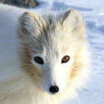 Arctic fox. Photographer: Algkalv
