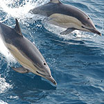 Common dolphin. Photographer: NOAA