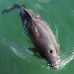 Harbour porpoise. Photographer: Erik Christensen