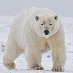 Polar bear. Photogrpaher: Alan Wilson